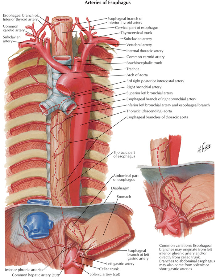 Figure 2 | Esophagus - anatomy and development : GI Motility online