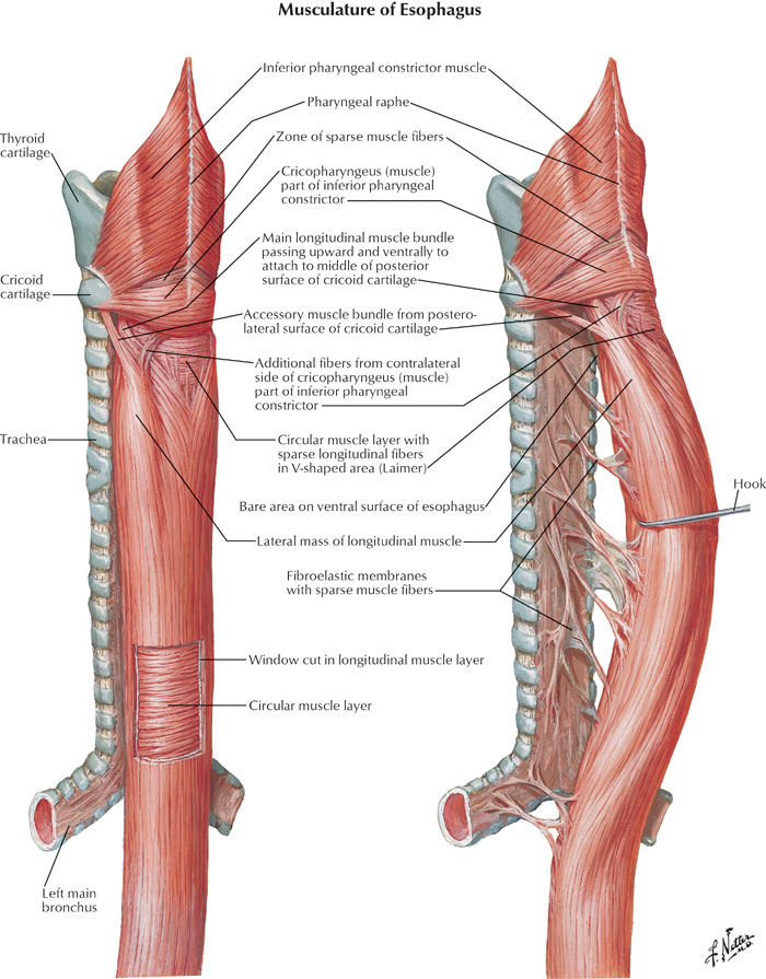 Esophagus Anatomy Diagram