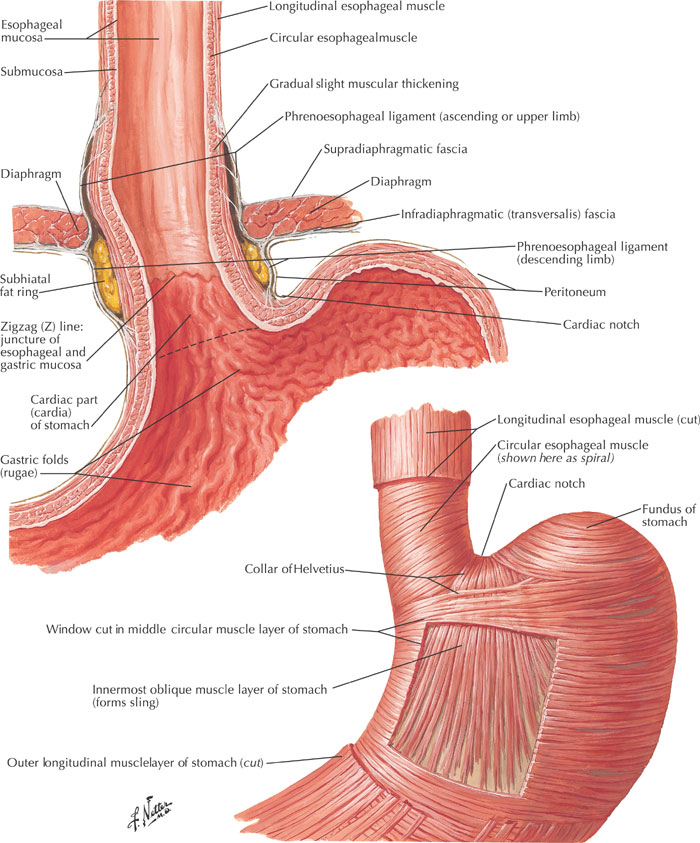 Esophagus diagrams musculature gastroesophageal junction esophageal sphincter ccuart Gallery