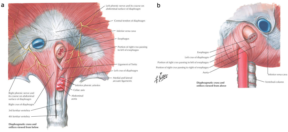 Esophagus Muscle Diagram - Search For Wiring Diagrams •