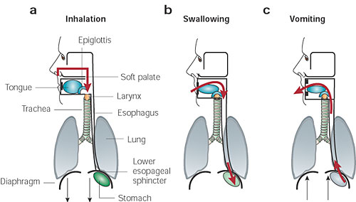 Figure 1 | Anatomy, development, and physiology of the lungs : GI ...