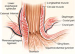 sphincter mechanisms at the lower end of the esophagus : gi, Human Body