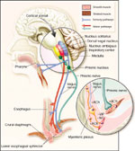 Figure 7 : Neural pathways to the LES and crural diaphragm. Unfortunately we are unable to provide accessible alternative text for this. If you require assistance to access this image, or to obtain a text description, please contact npg@nature.com