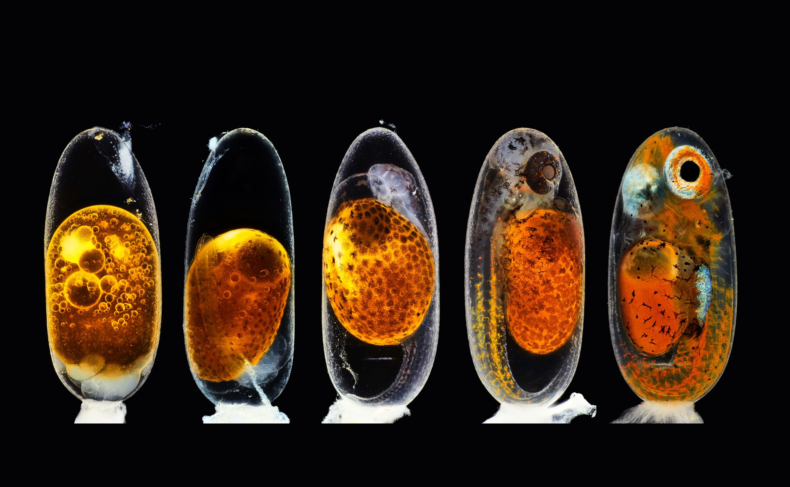 Row of five images of a clownfish embryo at different stages of development