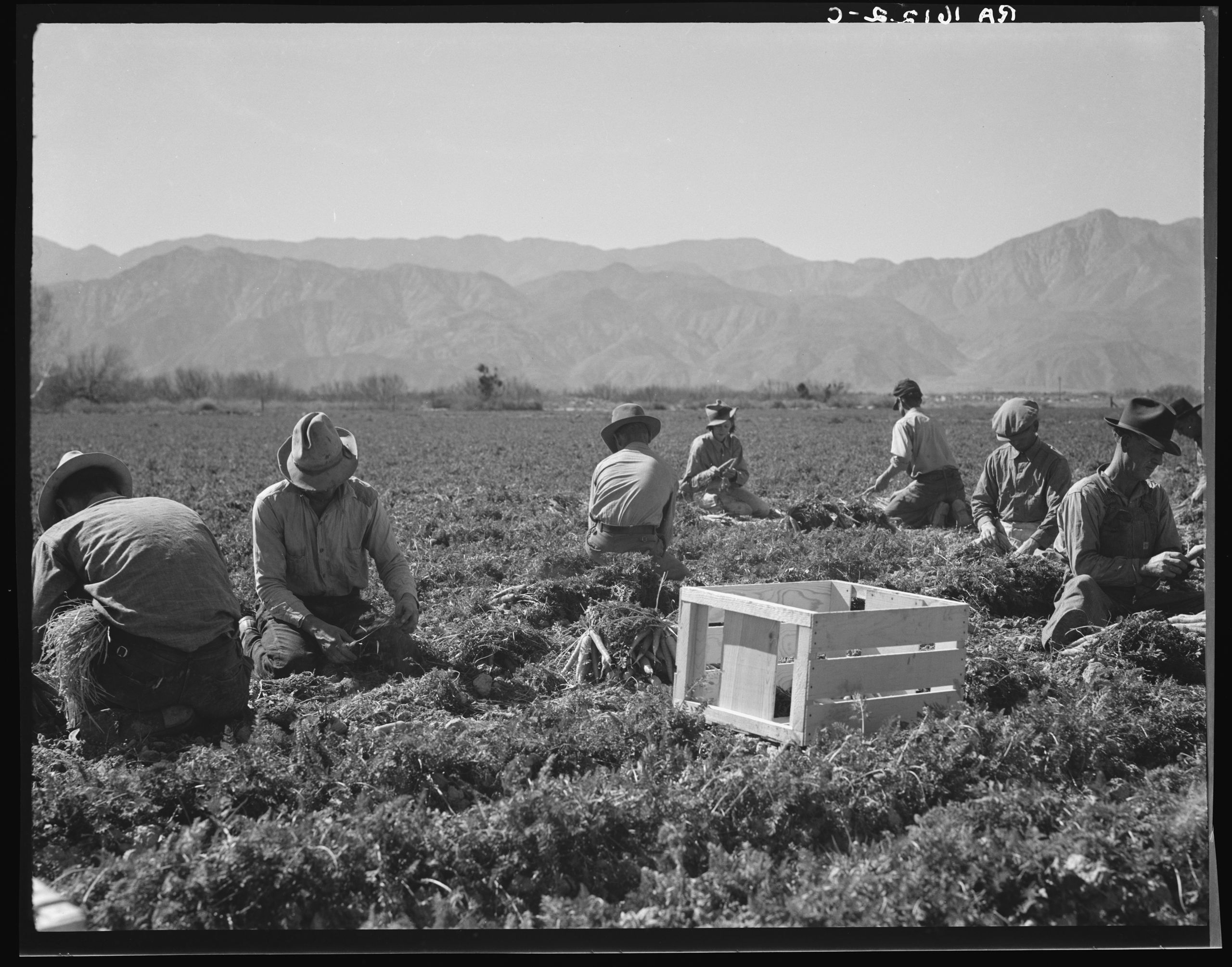 Black and white historical photo of men picking carrots in a field in California in 1937
