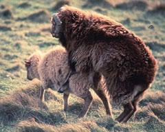 sheep_200