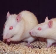 Few researchers study ejaculation control in rats.