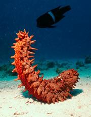 Sea cucumbers appear vulnerable to changes in climate