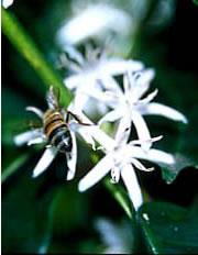 A wild honeybee (Apis mellifera) visits a coffee flower, bringing pollen from other plants to fertilize it.