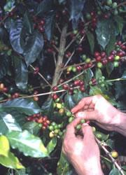 Coffee growers reap the financial rewards of neighbouring forest.