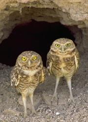 Burrowing owls use dung to catch dinner.