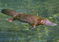Even the duck-billed platypus's chromosomes are weird.