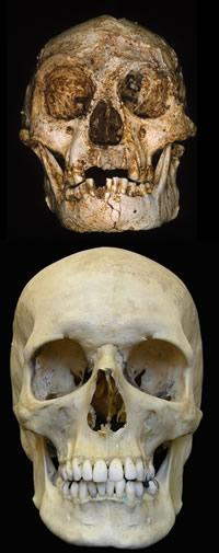 The skull of Homo floresiensis is tiny compared to modern day Homo sapiens.