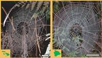 Tetragnatha stelarobusta on Maui and T. hawaiensis on the island of Hawaii weave very similar types of web.