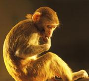 Social animal: by keeping an eye on their fellows, macaques can find mates and avoid fights.