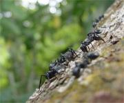 Cephalotes atratus ants aim for their home trunk when they fall off the branch.