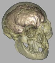 Virtual skull of the 'hobbit', with its brain cavity highlighted.