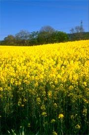 Bird experts are worried about the effects of growing transgenic winter oilseed rape.