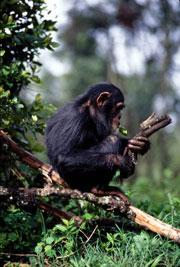 Chimps can use tools to help them find food - and then teach these tricks to each other.