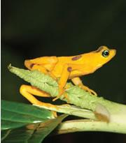 The Panamanian golden frog is one of about 110 species of harlequin frog, many of which are dying out.