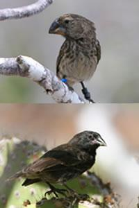 The large ground finch (top) has battled it out with the medium ground finch for big seeds, leading the medium ones to trend towards smaller beaks (bottom).