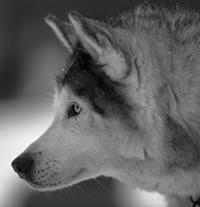 An old wolf's DNA could be living on in a world-wide tumour.