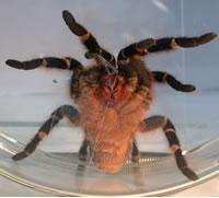Tarantulas, giants of the spider world, use silk to glue their feet down.