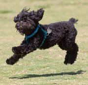 Little Portuguese water dogs make less growth factor than the big boys.