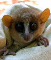 A wide-eyed mouse lemur has its DNA tested to see what species it belongs to. Click here for a slide-show