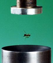 Flying ants: ultrasound can keep a small insect aloft.