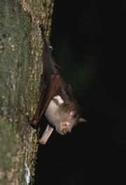 Bats: the perfect way to distribute seeds?