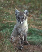 Clever as a fox? Arctic foxes didn't have the cunning to move with their changing environment.