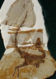 Sinosauropteryx may not have been a feathery dinosaur after all.