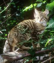 Scottish wildcat: interbreeding with feral cats is diluting its genes.