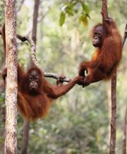 Orang-utans might figure out problems in their heads before putting tools into practice. Click here to watch a video.