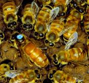 Queen bees avert the sting in the tail : Nature News