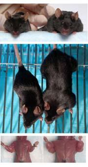Mouse Model Yields Possible Treatment >> Mighty Mice Could Yield Human Treatments Nature News