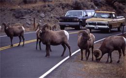 carneiros 'big horn' na estrada