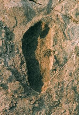 One of the hominid footprints, preserved in 3.7-million-year-old volcanic ash, that suggested the upright, bipedal, free-striding gait of modern man.