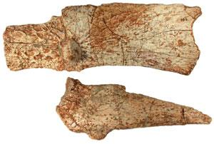 Interlocking bony plates covered the aetosaur's body, shown one-third of actual size.