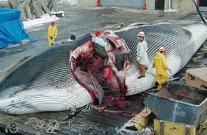 Not in my back yard: this fin whale is in immaculate condition compared with some decomposing cetaceans that wash up.