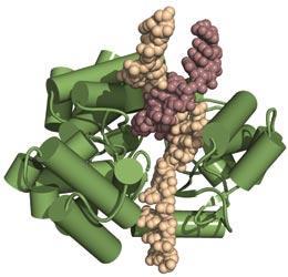 news.2008.1070 Telomerasestruktur entschlüsselt!