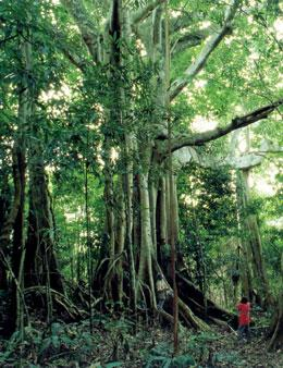 The rainforest canopy in Xishuangbanna traps water vapour, helping plants to survive dry spells.