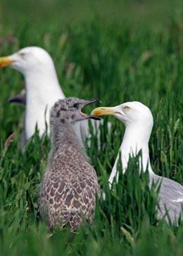 Herring gull chick feeding