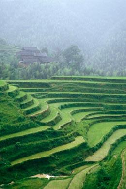 Rice fields in China produce less methane than they did in the 1980s. (Credit: Punchstock) Click to enlarge.