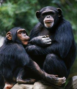Human-chimp interbreeding challenged : Nature News