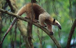The anteater could have its genome sequenced.