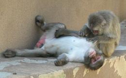 Primate grooming
