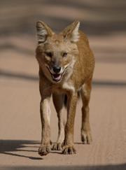 Dhole, cão selvagem indiano @ Nature