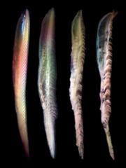 Four rotting fish